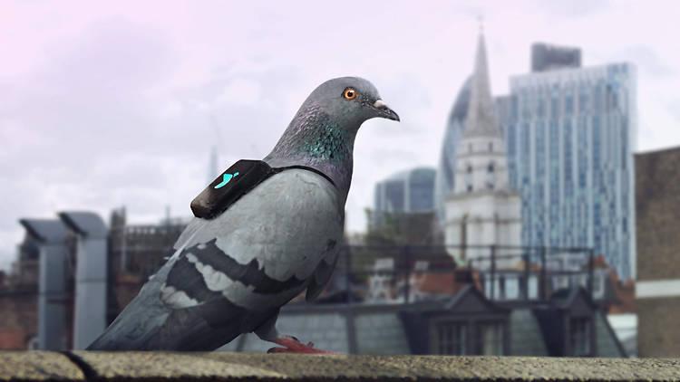 pigeons-casing